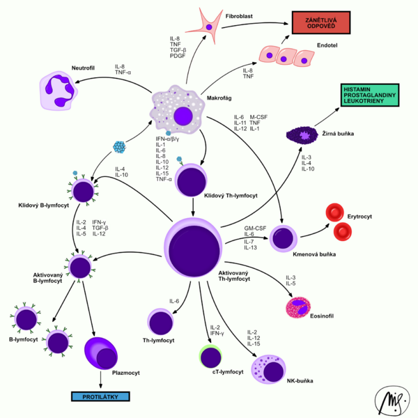 Cytokine interactions between cells of the immune system